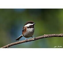 Chestnut Backed Chickadee Perched on a Branch Photographic Print