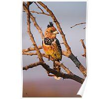 Crested Barbet, Kruger National Park, South Africa Poster