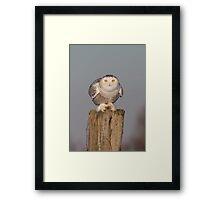 Snowy Owl prepares for liftoff Framed Print