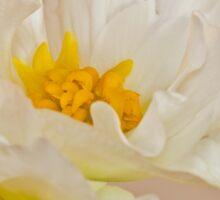 White Begonia Ruffles  Sticker