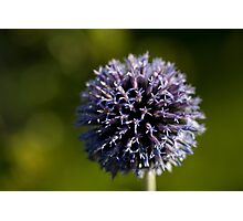 echinops (1) Photographic Print