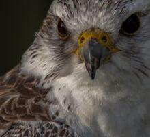 Gyr Saker Falcon Sticker