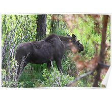 Bubba, the baby bull moose Poster