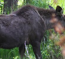 Bubba, the baby bull moose Sticker
