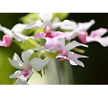 Delicate Orchids by Sharon Cummings Photographic Print