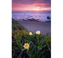 Blooming Ice Plants. Photographic Print