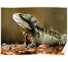 Male Eastern Water Dragon, Australian Lizard, Queensland. Poster