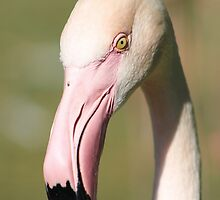 The Look of The Flamingo by Shilohlin Pfeiffer