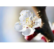 Inside the Apricot Blossom Photographic Print