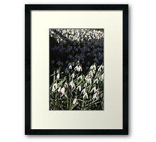 Snow Drop closeup and beyond Framed Print