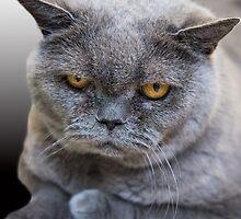 Grumpy Shorthair by Roger  Mackertich