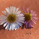 Daisies by two by kalaryder