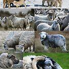 Schafe - Sheep by Martina Cross