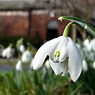 The Snowdrop by Morag Bates