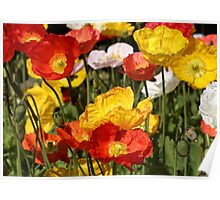 Orange and Yellow Poppy Flowers Poster