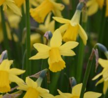 Yellow Daffodils Sticker