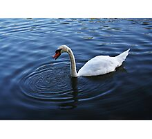 Stratford Swan Photographic Print