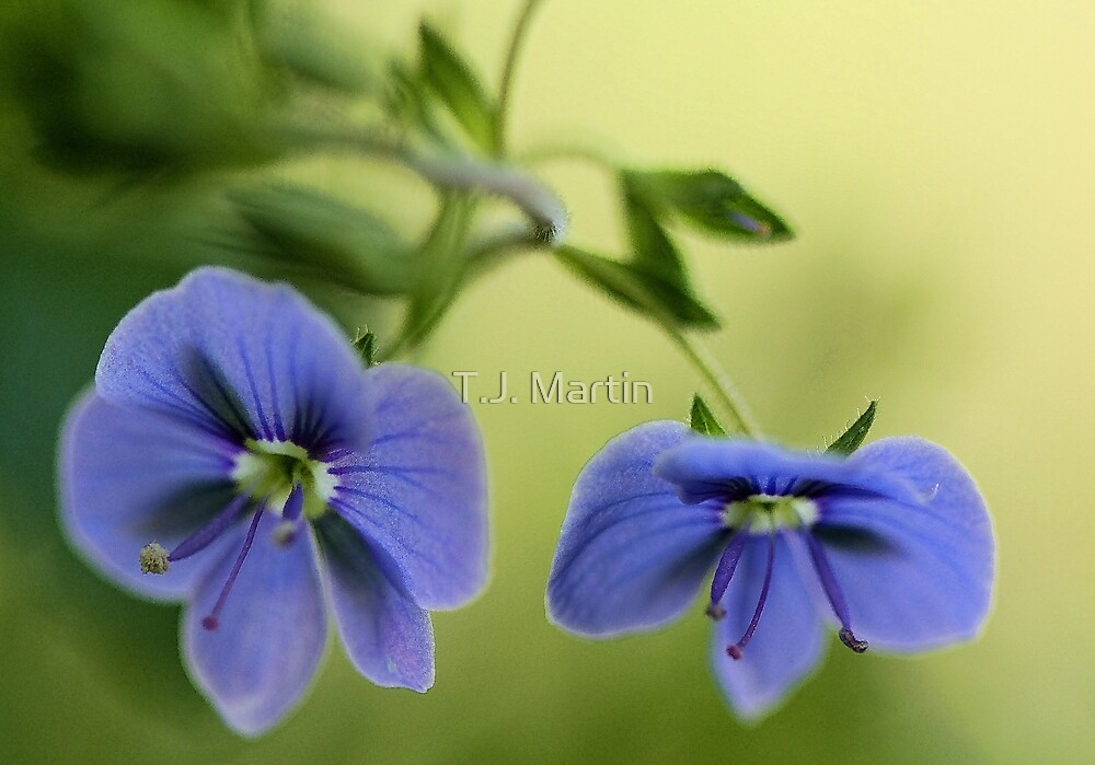 -Blue Speedwell Blossoms by T.J. Martin