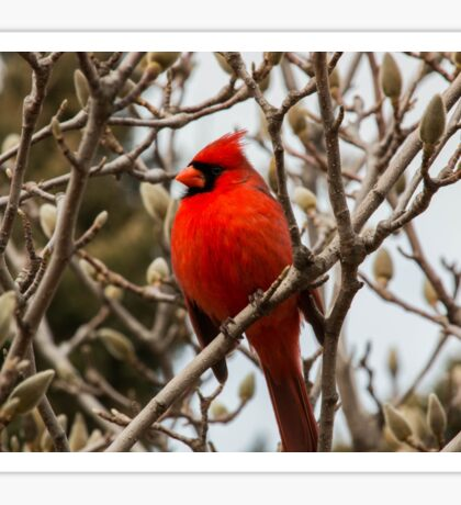 Cardinal in Pussy Willow Sticker