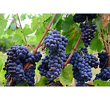 Tuscany grapes Photographic Print
