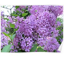 The Fragrance of Lilacs Poster