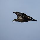 Bald Eagle Juvenile In Flight by Deb Fedeler