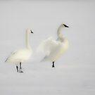 Trumpeter Swan Mystery by Deb Fedeler