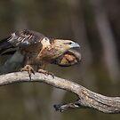 Immature Sea Eagle  by Donovan Wilson