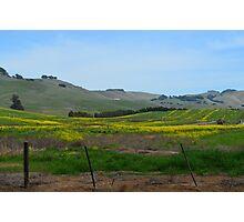 Mustard Flowers in Napa, California Photographic Print