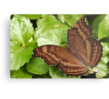 Chocolate Pansy Butterfly Metal Print