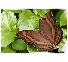 Chocolate Pansy Butterfly Poster