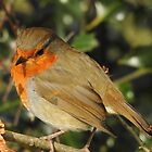 Robin  by StudioCorvid