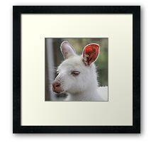 Albino kangaroos Framed Print