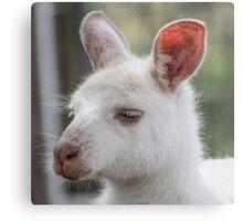 Albino kangaroos Metal Print