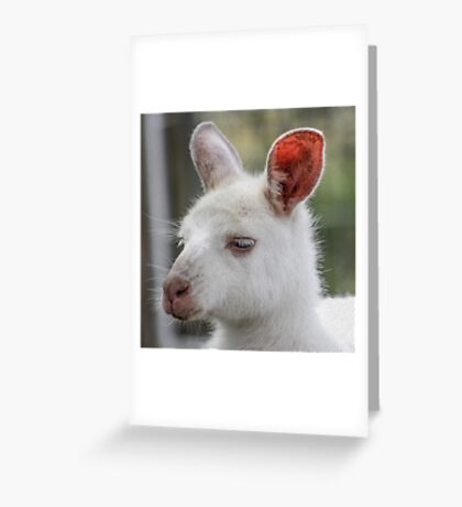 Albino kangaroos Greeting Card