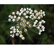 Pearly Everlasting Photographic Print