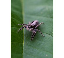 Jumping Spider (2) Photographic Print