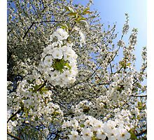 White Blossoms, Springtime Photographic Print