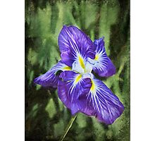 Japanese iris Photographic Print