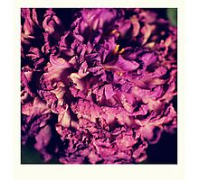 dry purple flower - 2nd Photographic Print