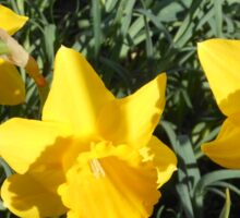 Daffodil Delight Sticker