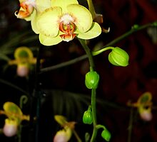 A Moth Orchid in Bloom by ggpalms