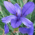 Siberian Iris by Monnie Ryan