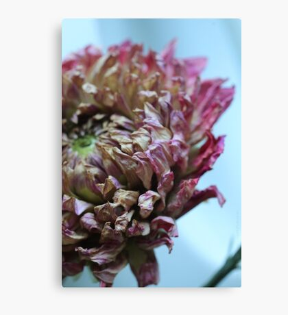 dry flower - two Canvas Print
