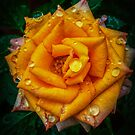 Rainy Day Rose by Bette Devine