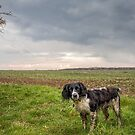 English Springer Spaniel in the field by JFPhotography