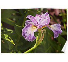 Iris at Butchart Gardens Poster