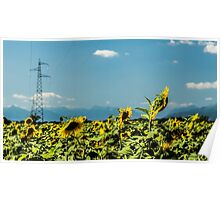 sunflowers field in the italian countryside Poster