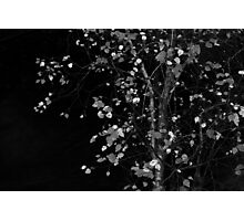 birch tree Photographic Print