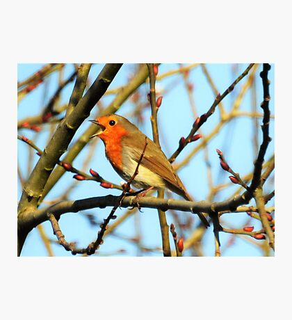 Robin song  Photographic Print